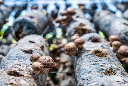 culture de champignons sur bois